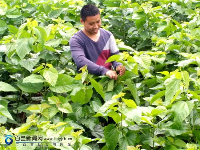 """凌云县:加尤镇磨贤村""""石头上的产业""""助农增收脱贫"""