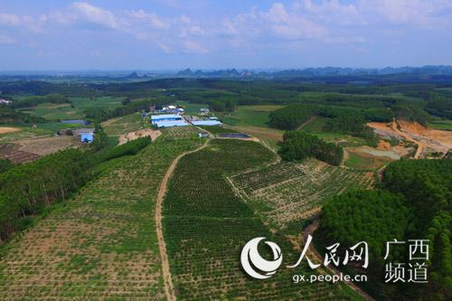 座落于南宁市江南区保城村西北山坡上的百亩蓝莓园(尹庆南 摄)