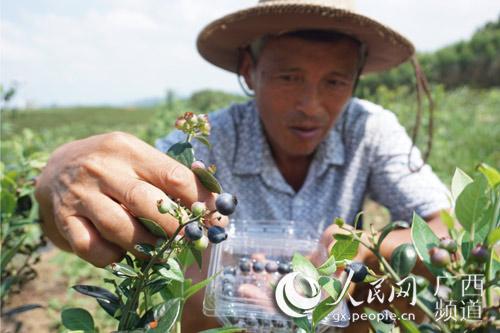 江南区果农采摘蓝莓(尹庆南 摄)
