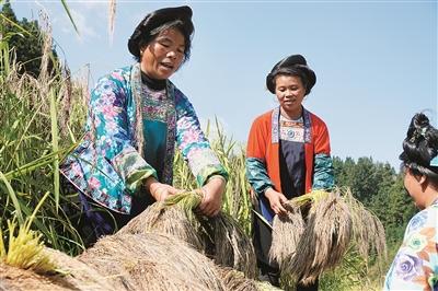 融水县:紫黑香糯撑起特色扶贫产业