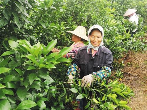 西乡塘区:姐妹种沃柑搭起致富桥