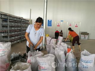 """宁明县:""""蔗牛菇肥""""项目带动贫困群众增收致富"""