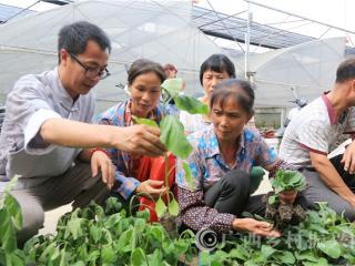 融安县:4万株优质嫁接蔬菜苗送贫困群众助脱贫