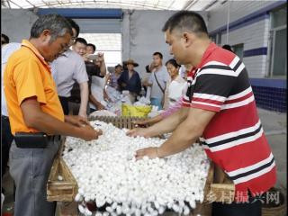 蒙山县:今年第二批蚕茧喜获上市