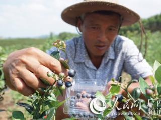 江南区:小蓝莓开启致富大产业