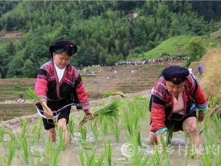 龙胜县:龙脊梯田迎来一年一度梳秧节
