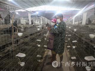 宁明县:发展皇鸽养殖 加快脱贫攻坚