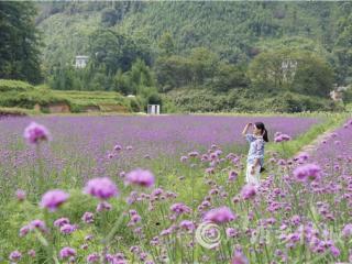 南丹县:养花高手在民间  农民抱团种出一片浪漫花海