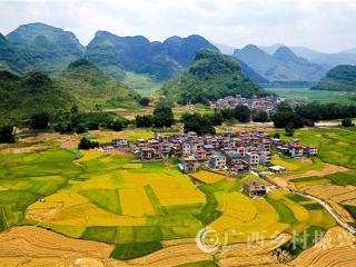 罗城县:仫佬山乡12.5万亩早稻陆续成熟田园如画