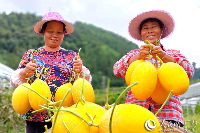 龙胜县:马堤乡新引进种植的哈密瓜陆续成熟