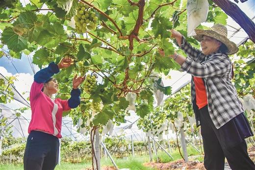 临桂区:四塘镇引种阳光玫瑰成功