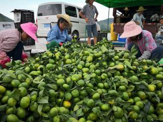 罗城县:做大水果产业 助力乡村振兴