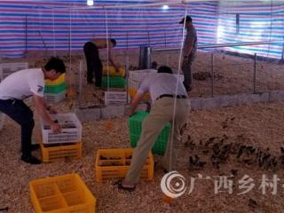平果县:同老乡林下养鸡集中区首批鸡苗进场