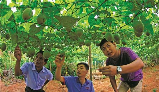 富川县:白沙镇引种罗汉果已进入收获期