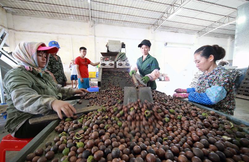 扶绥县:致力打造澳洲坚果产业