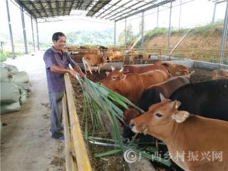 """宁明县:打造""""蔗-牛-菇-肥""""循环产业链助推脱贫攻坚"""