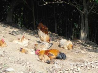 乐业县张德孟:林下养鸡创富能人