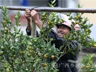 """融安县:金桔""""三避技术"""" 助力脱贫攻坚"""