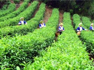 平桂区:科技扶贫暨土瑶村采茶大赛在狮南村茶园举行