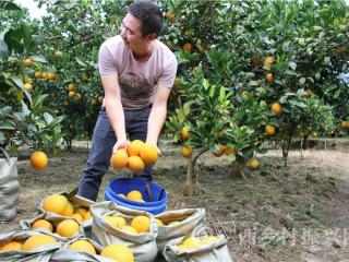 南丹县:罗富镇百亩柑橘采摘园进入丰收采摘期