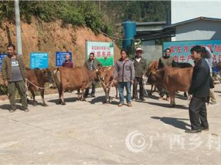 宁明县:鼓励贫困户利用奖补资金领养牛犊脱贫增收