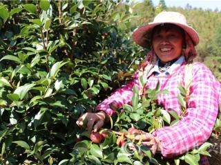 """南丹县:""""小""""油茶做""""大""""文章  特色产业助农增收"""