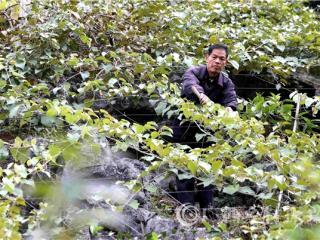 融安县:种植葡萄改善生态环境