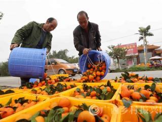 融安县:蜜桔上市助脱贫
