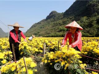 融安县:金丝皇菊种植助脱贫