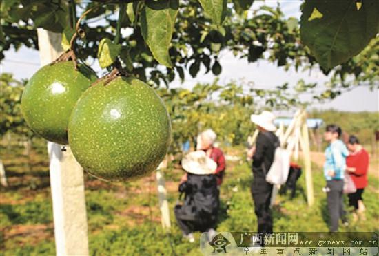 柳江区生态园的黄金百香果 脱贫致富的好帮手