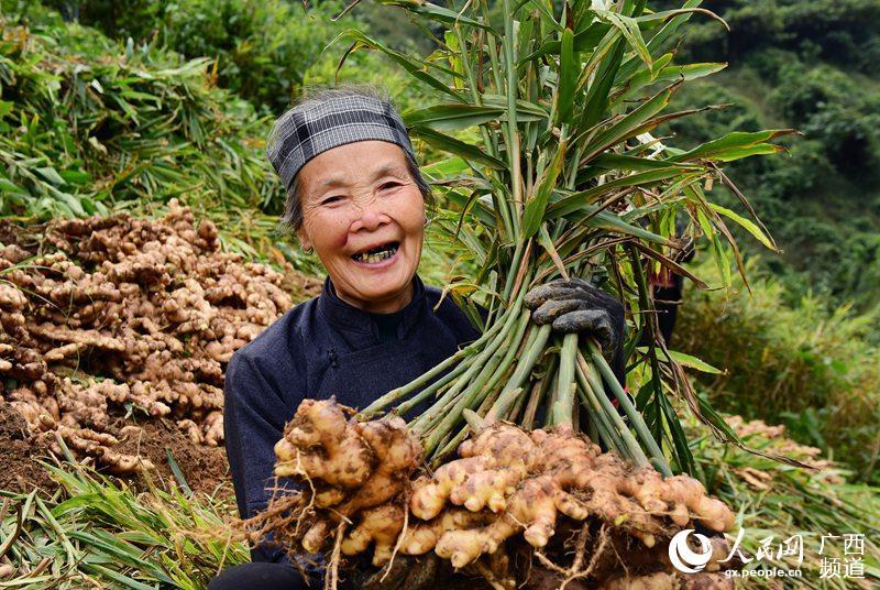 图为田林县八渡瑶族乡博峨村群众在采收生姜