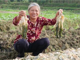 北流万平村:百年潮菜成脱贫致富宝