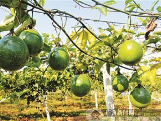 柳江区:生态园的黄金百香果 脱贫致富的好帮手