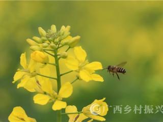 广西融安:油菜花迎春开