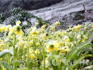 融安县:桂北山区农作物结满晶莹剔透的冰棱