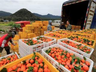 融安县:节后摘桔供市场