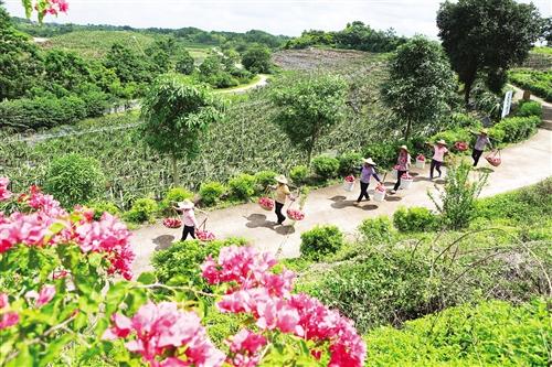 邕宁区:抓好产业带动 壮大集体经济