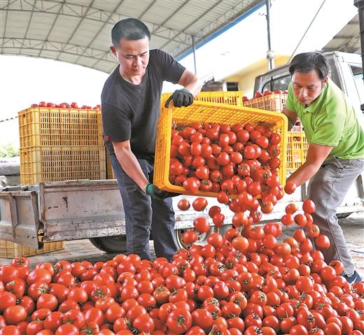 田东县:四平西红柿走红四方 北抵俄罗斯东进粤港澳