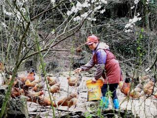 融安县:鸡鸣李花笑 致富趁春早