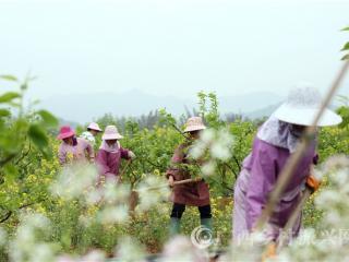 融安县新桂村:春分时节农事忙