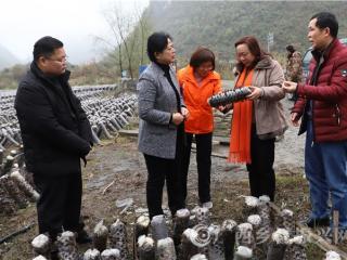 河池市委常委、组织部部长马南萍深入南丹基层指导村集体经济产业发展工作