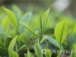 凌云县:强化产业发展 助推精准脱贫