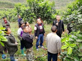 田阳县定夜村:蜜柚种植技术培训 助推产业发展脱贫