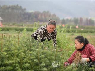 融安县:种香杉 助脱贫