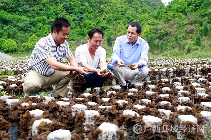 南丹县:党建+食用菌产业 助力百户贫困户脱贫