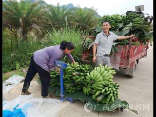 宁明县:蕉果飘香  蕉农欢畅