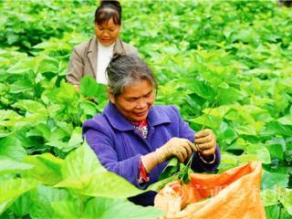 凌云县:桑蚕生产保持稳步健康发展