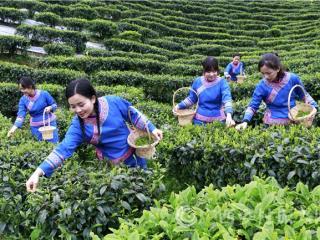 南丹县:茶旅融合迎客来