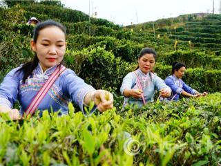 凌云县:春到茶山采茶忙
