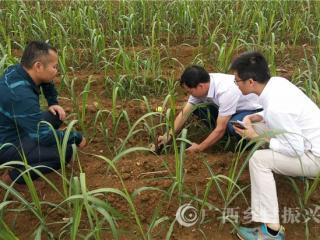 区农科院甘蔗专家到江州区濑湍镇传授甘蔗高产及病虫害防控技术